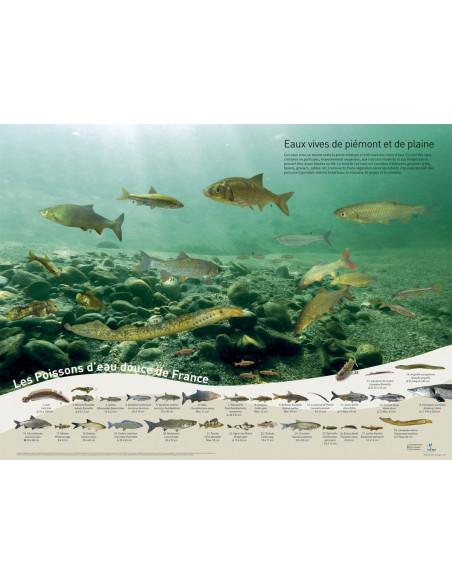 Poster poissons - eaux vives de plaine