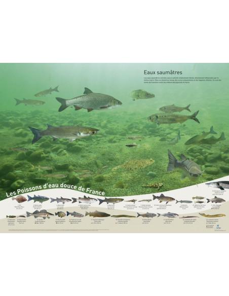 poster poissons - eaux saumâtres