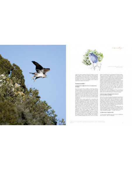 Aigle de Bonelli méditerranéen méconnu