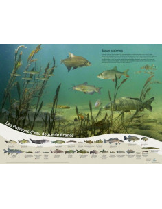 Pack 4 posters poissons d'eaux douces de France