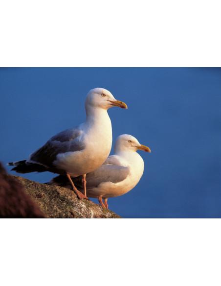 Oiseaux marins nicheurs de France Métropolitaine (1960-2000)