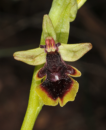 Ophrys Subinsectifera Roselyne Buscail